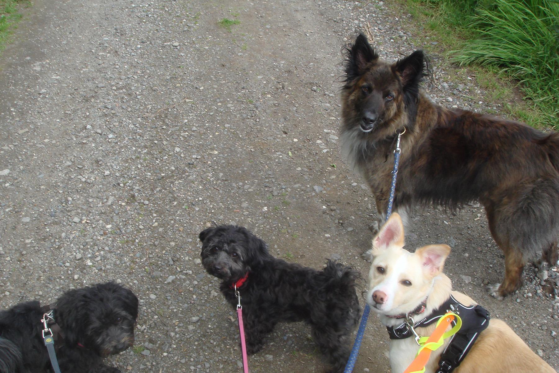 mensch-zu-hund-dogwalking